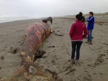 We came across a beached whale, that had been there for a couple of weeks