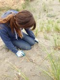 Amy pulling out the invasive beach grass